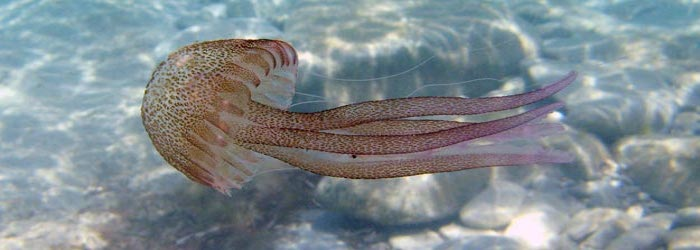 Las medusas: del Mediterráneo a la carta